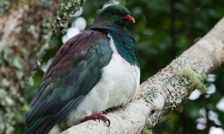 Is it ever okay to eat a kererū?